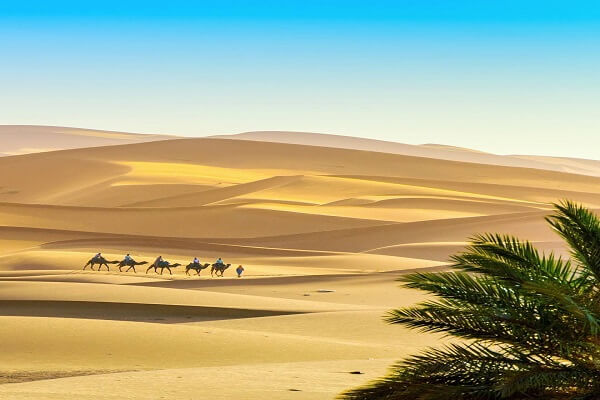 group of camels walking in the desert