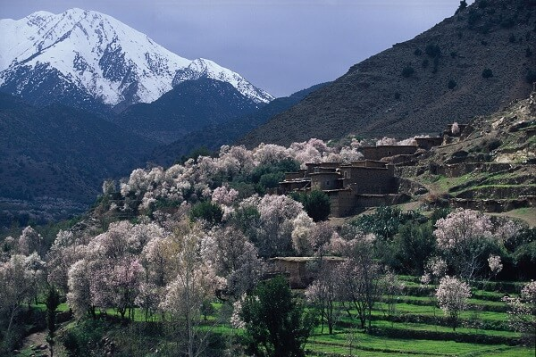 chere blossom in village in morocco