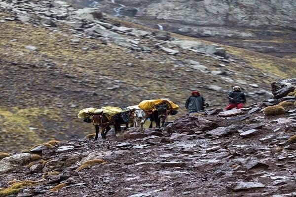 mules walking in mountains