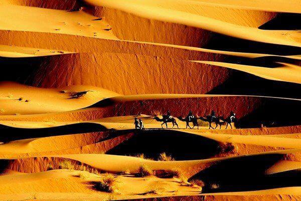camels between sand dunes walking
