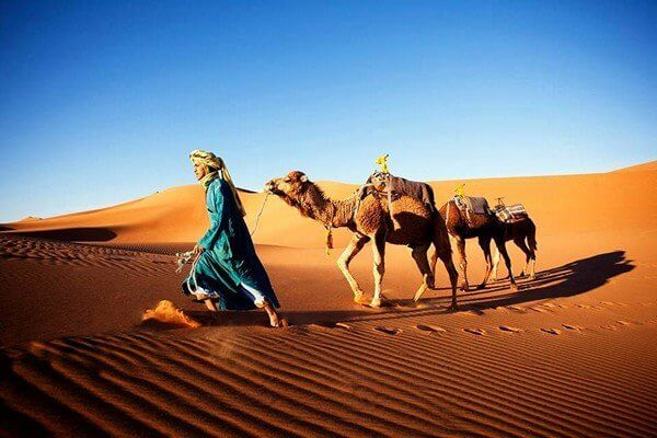 man leading camels in sahara