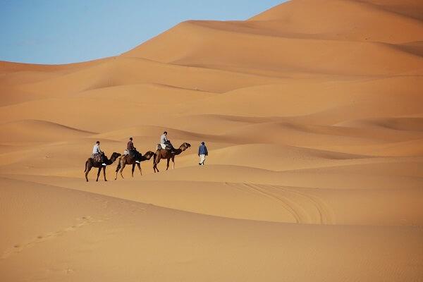 camels walking in erg chebbi