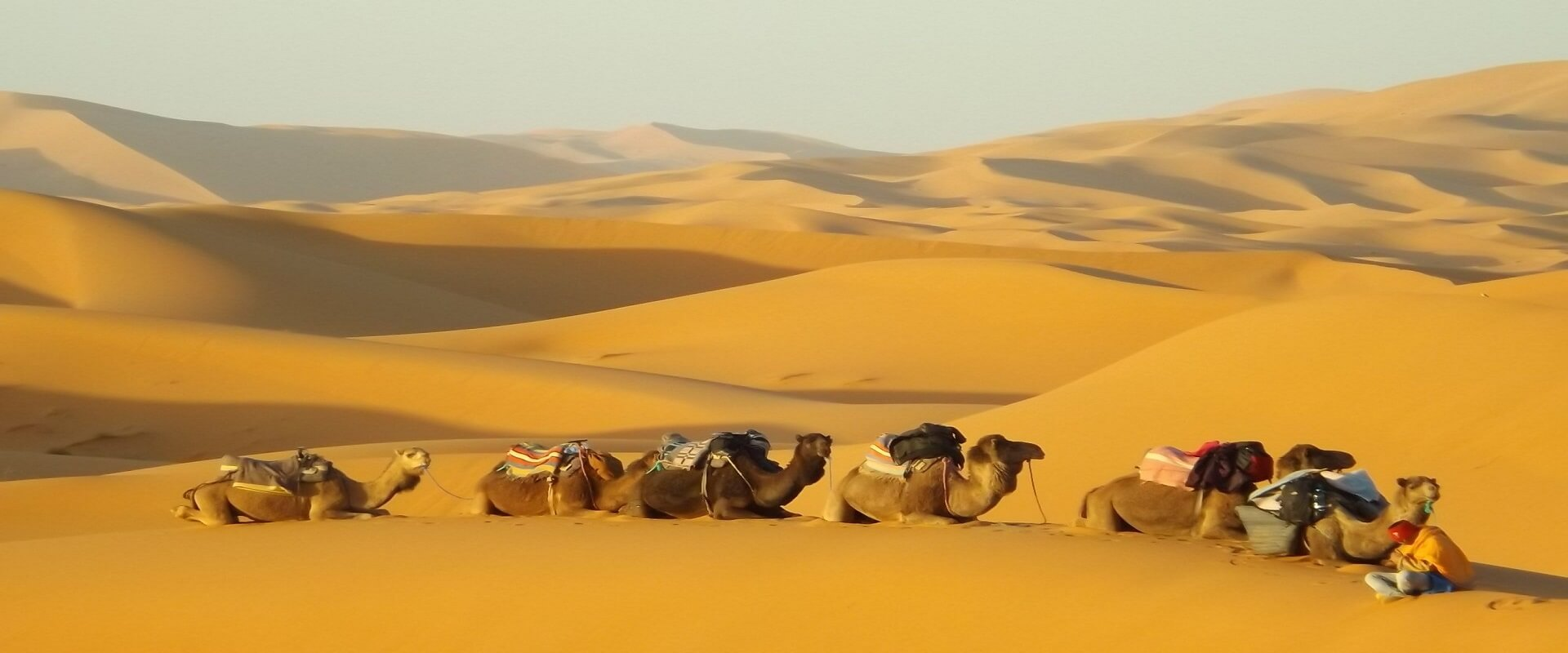 group of camels lying sand